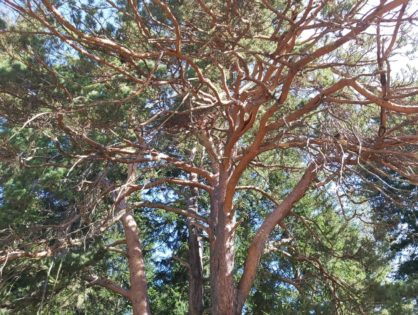 Создание эко-просветительского парка в Вороновском кедровнике